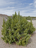 California Juniper (Juniperus Californica), Joshua Tree National Park, California, Mojave Desert Photographie par Buff & Gerald Corsi