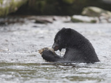 Black Bear (Ursus Americanus) Sitting in a Stream Eating a Salmon it Just Caught, British Columbia Photographic Print by Cheryl Ertelt
