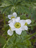 Narcissus Anemone (Anemone Narcissiflora), Fort Abercrombie State Park, Kodiak, Alaska Photographic Print by Gerald & Buff Corsi