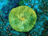 Fluorescing Mushroom Coral (Ctenactis Echinata), Komodo National Park, Indian Ocean, Indonesia Photographic Print by Reinhard Dirscherl