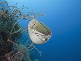 Chambered Nautilus (Nautilus Belauensis), Micronesia, Palau Photographic Print by Reinhard Dirscherl