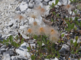 Yellow Dryas Seed Heads (Dryas Drummondii), Glacier Bay National Park, Alaska Photographie par Gerald & Buff Corsi