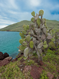 Endemic Prickly Pear Cactus (Opuntia Galapageia), Galapagos Islands, Ecuador Photographic Print by Gerald & Buff Corsi