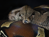 Red Tailed Boa (Boa Constrictor Constrictor), Captive Photographic Print by Michael Kern