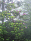 Flowering Catawba Rhododendron in the Fog, Andrews Bald, Great Smoky Mountains National Park Photographic Print by Adam Jones