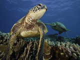 Green Sea Turtles (Chelonia Mydas) an Endangered Species, Hawaii, USA Photographic Print by David Fleetham