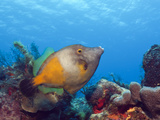 Whitespotted Filefish (Cantherhines Macrocerus), Cozumel, Caribbean Sea, Mexico Photographic Print by Reinhard Dirscherl