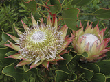 King Protea's National Flower Photographic Print by Tim Hauf