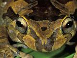Baudin's Tree Frog (Smilisca Baudinii) Cahuita National Park Photographic Print by Thomas Marent