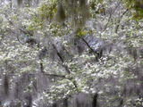 Dogwood Tree, Cornus Florida and Spanish Moss, Charleston, South Carolina Photographic Print by Adam Jones
