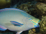 A Queen Parrotfish Feeding on Coral (Scarus Vetula), Terminal Male or Supermale Phase, Bonaire Photographic Print by David Fleetham