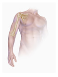 Biomedical Illustration of the Bones of the Human Upper Arm and Shoulder Giclee Print by Matthew Holt