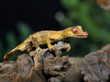 Satanic Leaf-Tailed Gecko (Uroplatus Phantasticus), Captive Photographic Print by Michael Kern