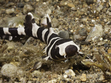 A Juvenile Brownbanded Bamboo Shark (Chiloscyllium Punctatum), Philippines Photographic Print by David Fleetham