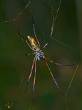 Madagascar Silk Spider (Nephila Madagascariensis) Photographic Print by Michael Kern