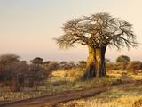 African Baobab Tree (Adansonia Digitata) at Sunset, Tarangire National Park, Tanzania, Africa Photographic Print by Adam Jones