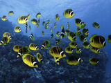 Schooling Raccoon Butterflyfish (Chaetodon Lunula), Lanai, Hawaii, USA Photographic Print by David Fleetham