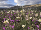 Spring Bloom of Desert Primrose (Oenotherdeltoides) and Sand Verbena (Abronia Villosa) Photographic Print by Michael Johnson
