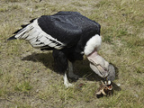 An Andean Condor (Vultur Gryphus) Dining on a Bone at Parque Condor, Photographie par David Fleetham