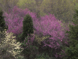 Dogwood Trees, Cornus Florida, and Eastern Redbud, Cercis Canadensis, Flowering in the Spring Photographic Print by Adam Jones
