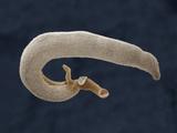 The Fluke (Schistosoma Mansoni) Photographic Print by Richard Kessel
