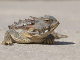 Close Up of the Head of a Horned Lizard or Blainville's Horned Lizard Photographic Print by Michael Johnson