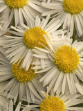 Fleabane Flowers (Erigeron), Hamlin Valley, Nevada Photographic Print by Stephen Ingram