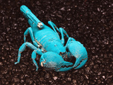 Emperor Scorpion Fluorescing, under Black Light (Pandinus Imperator), Africa Photographic Print by Adam Jones