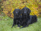 Flat-Coated Retrievers Sitting in a Yard, MR Photographic Print by Cheryl Ertelt