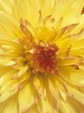 Dahlia Flower, Orkney Variety Photographic Print by Wally Eberhart