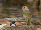 Green-Tailed Towhee (Pipilo Chlorurus) at Edge of Pond Photographic Print by Don Grall