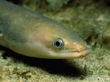 European Eel, Anguilla Anguilla, Baltic Sea, Germany Photographic Print by Reinhard Dirscherl