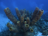 Yellow Tube Sponges Spawning (Aplysina Fistularis), Bonaire, Caribbean Photographic Print by David Fleetham
