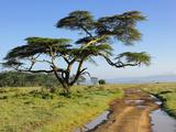 Acacia Tree Next to a Primitive Road, Lake Nakuru National Park, Kenya, Africa Photographic Print by Adam Jones