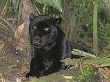 Black Jaguar or Panther (Panthera Onca), Belize Fotografisk tryk af Thomas Marent