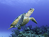 Hawksbill Sea Turtle (Eretmochelys Imbricata) Bahamas Photographic Print by David Fleetham