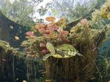 Mesoamerican Slider Turtle (Trachemys Scripta Venusta,) in Cenote, Tulum, Yucatan Peninsula, Mexico Photographic Print by Reinhard Dirscherl