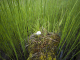 A Single Cottongrass Bloom Grows Out of a Nurse Log Surrounded by Horsetail Reeds Photographic Print by Chris Linder