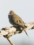 Mourning Dove (Zenaida Macroura), Eastern USA Photographic Print by Marc Epstein