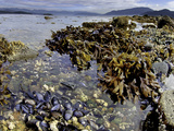 Kelp, Mussels and Barnacles are Visible at Low Tide in Howe Sound, British Columbia, Canada Photographic Print by David Fleetham