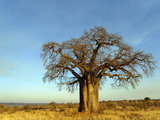 African Baobab Tree (Adansonia Digitata) at Sunset, Tarangire National Park, Tanzania, Africa Fotografisk tryk af Adam Jones