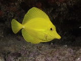 The Yellow Tang (Zebrasoma Flavescens), Hawaii, USA Photographic Print by David Fleetham