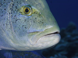 Close Up of a Jack or Trevally Head (Caranx Melampygus), Hawaii, USA Photographic Print by David Fleetham