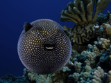 A Guineafowl Pufferfish (Arothron Meleagris), Hawaii, USA Photographic Print by David Fleetham