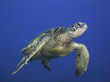 Green Sea Turtle Swimming (Chelonia Mydas), an Endangered Species, Hawaii, USA Photographic Print by David Fleetham