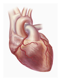 Biomedical Illustration of the Human Heart, Coronary Arteries, and Vena Cava Giclee Print by Matthew Holt