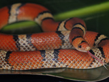Florida Scarlet Snake (Cemophora Coccinea Coccinea), Captive Photographic Print by Michael Kern