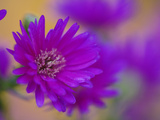 Aster Flower in Autumn, New Hampshire Photographic Print by Adam Jones