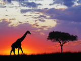 Masai Giraffe and an Umbrella Tree Acacia Silhouetted on the Savanna at Sunrise Photographic Print by Adam Jones