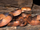 Tiger Snake (Telescopus SEMiannulatus), Captive Photographic Print by Michael Kern